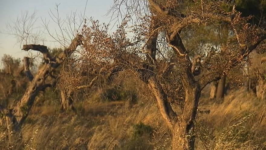 """""""Ébola das oliveiras"""" detetado na Córsega"""