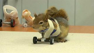 Eichhörnchen auf Rädern