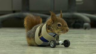 سنجاب معلول با چرخ راه رفت