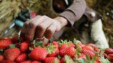 السعودية تستأنف استيراد محاصيل الفلفل والفراولة المصرية