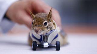Das Eichhörnchen mit seiner Prothese