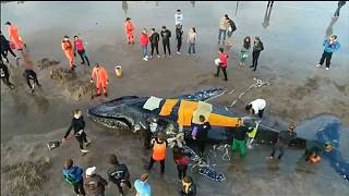 أثناء إنقاذ حوت على أحد شواطئ الأرجنتين