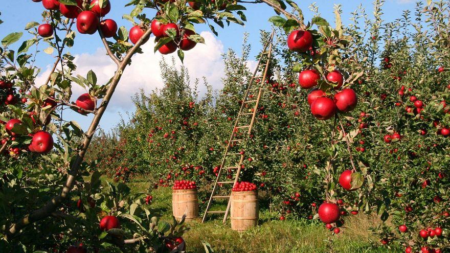 Niente mele UE per le sanzioni? No problem, la Russia importa alberi di mele