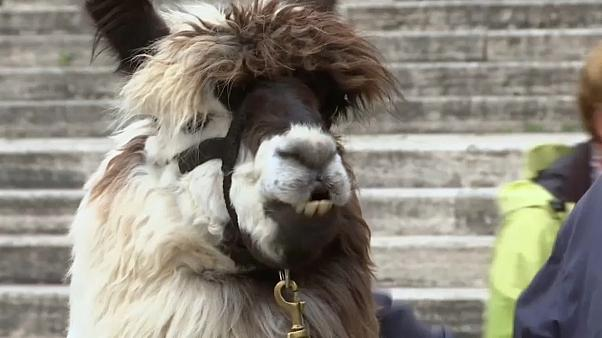 Pope Francis blesses llamas at Vatican City