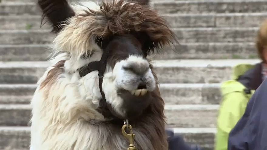 Pope Francis blesses llamas at Vatican City