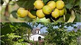 The citrus elixir of Menton