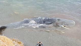 La ingesta de 29 kilos de plástico que mató al cachalote de Cabo de Palos llama a la acción