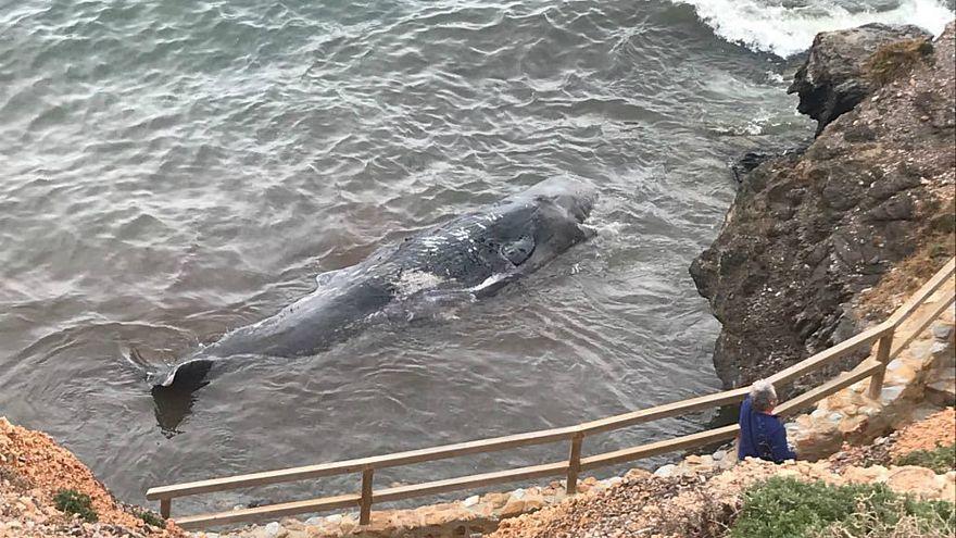 Der junge Pottwal wurde in Cabo de Palos angespült.