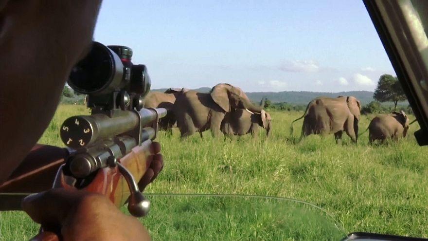 شاهد: أطواق ذكية لتتبع الفيلة في تانزانيا