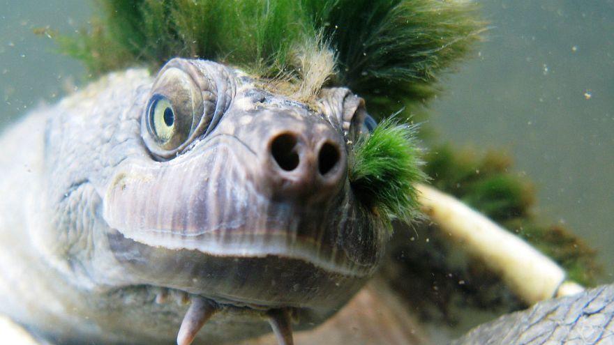 Genital-breathing 'punk turtle' joins endangered species list