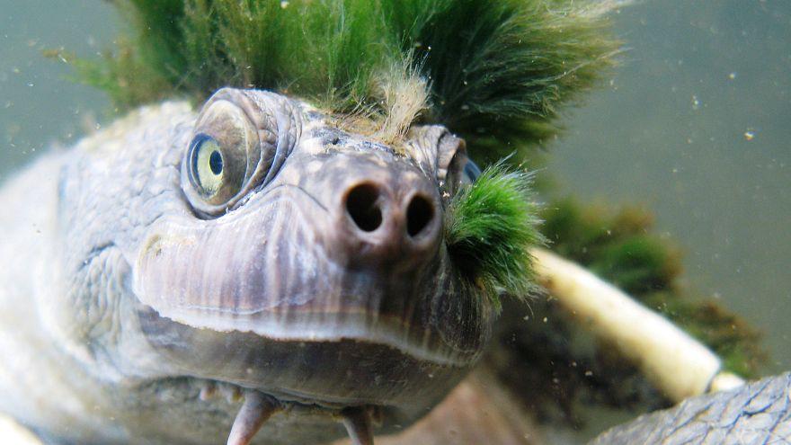 Die australische  Mary-River-Schildkröte ist eine kurzhalsige Schlangenhals