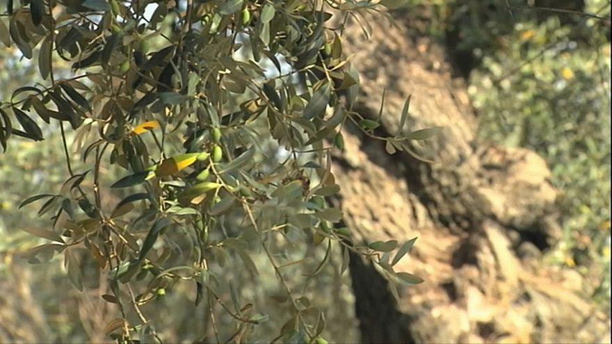 Madrid tenta conter foco de bactéria que mata oliveiras
