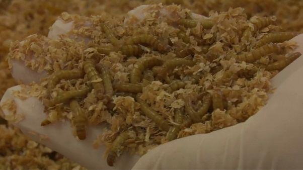 شاهد: مزارع الديدان تتهيأ لتلبية الطلب العالمي على البروتين