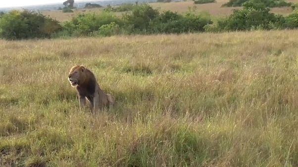 11 Löwen in Nationalpark vergiftet