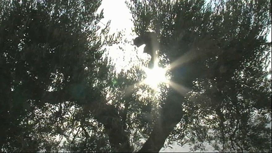 Portogallo: è allarme xylella fastidiosa, all'erta la Spagna