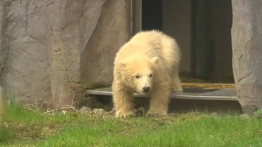 Eccovi Nanook, l'orsetto polare dello zoo di Gelsenkirchen