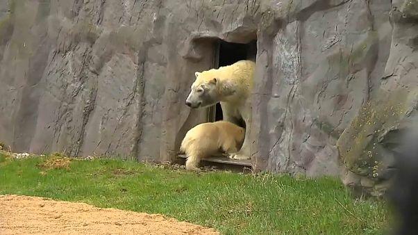 نزهة أولى لشبلة الدب القطبي نانوك برفقة أمها بحديقة غيلسنكيرشن الألمانية