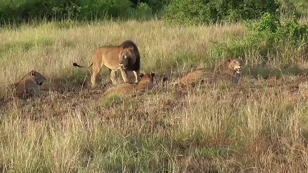 В национальном парке отравлены львы