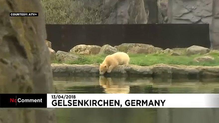 Először pancsolt a legifjabb jegesmedve