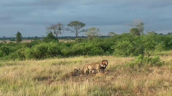 Onze leões envenenados em reserva do Uganda