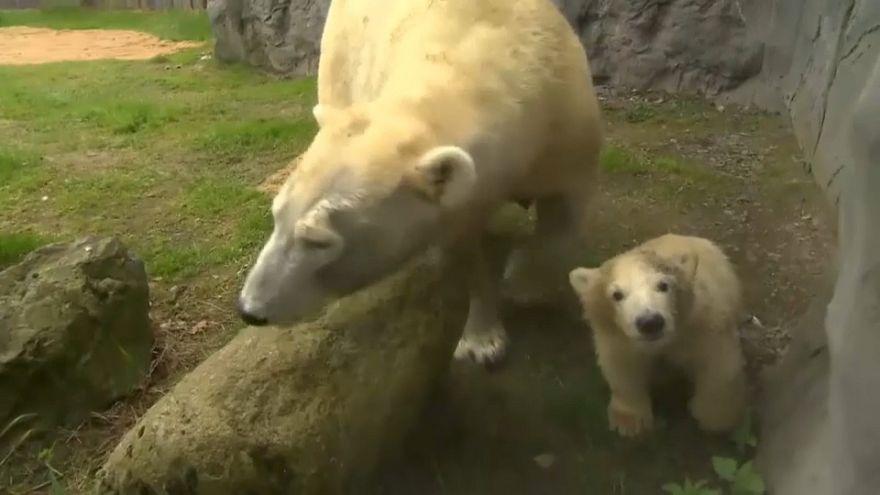Première sortie pour Nanook le petit ourson