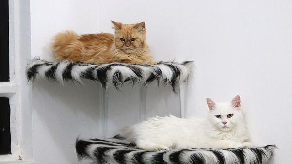 Romanya'da uluslararası kedi fuarı büyük ilgi gördü