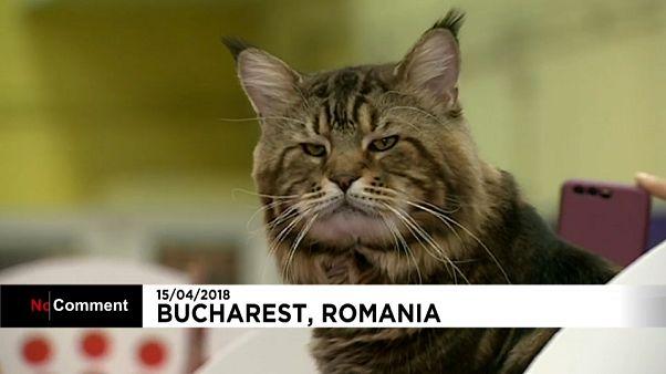 Os mais belos gatos do mundo juntaram-se na Roménia