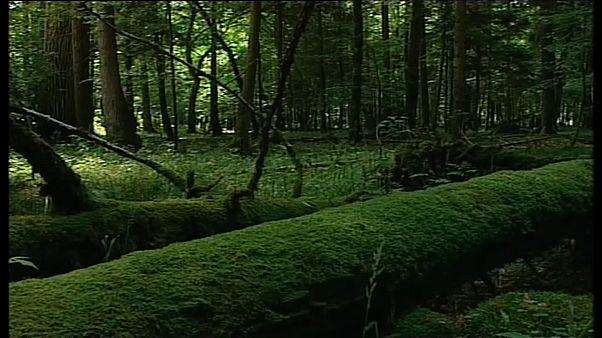 EuGH: Abholzung in Polens Urwald rechtswidrig