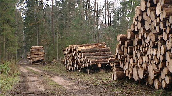 Польша рубила лес незаконно