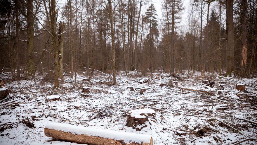 Polónia infringiu lei europeia na floresta de Bialowieza