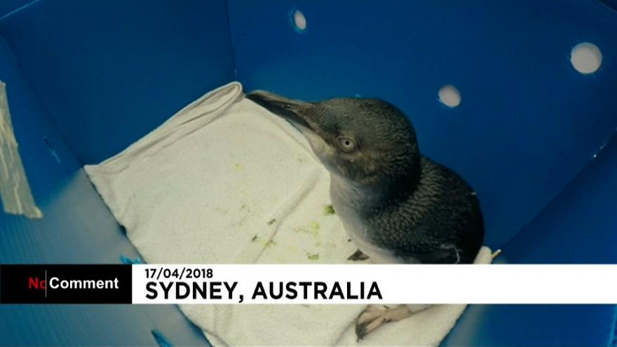 Australia: i piccoli pinguini che tornano a nuotare