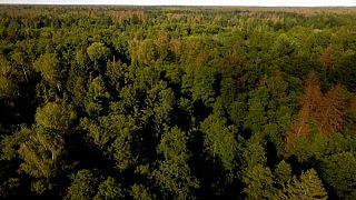 Polonia viola la normativa europea en el bosque de Puscha Bialowieska