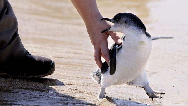 Αυστραλία: Πιγκουίνοι απελευθερώνονται και κερδίζουν τις εντυπώσεις