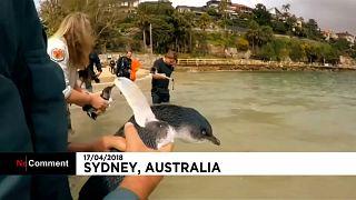 بازگرداندن پنگوئنهای کوچک استرالیایی به دریا