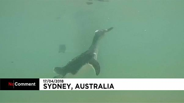 penguins go back into the wild in Australia