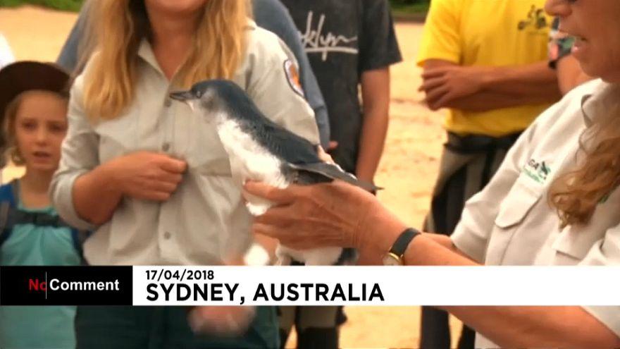 شاهد:  5 طيور بطريق حديثة الولادة في سيدني