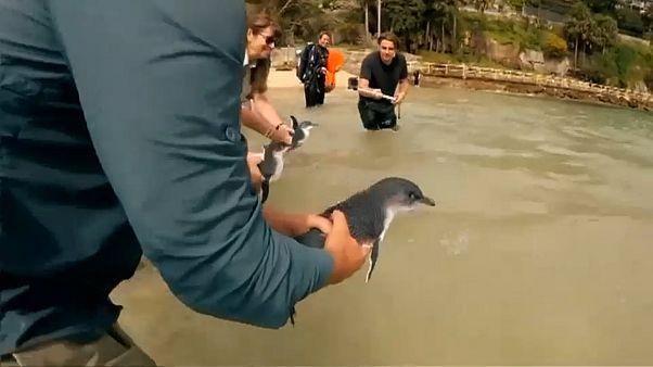Pinguins regressam a casa