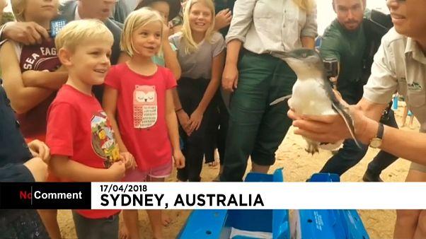 Le zoo australien relâche cinq pingouins