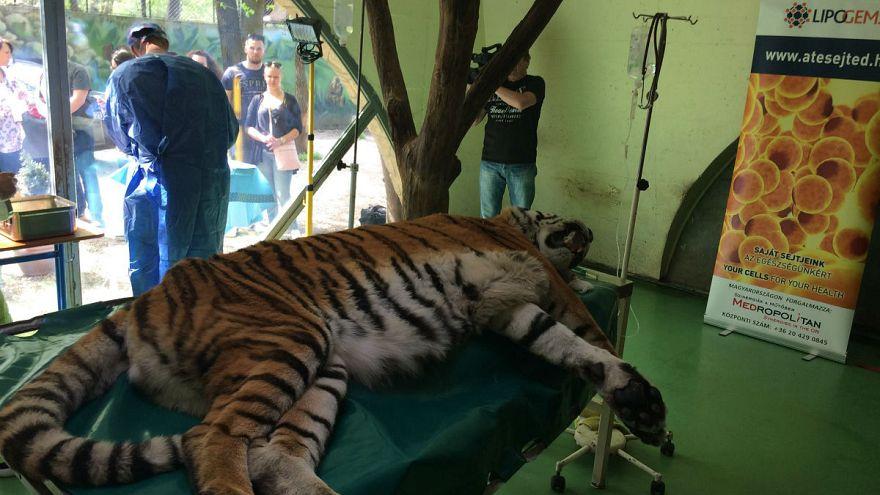 Saját sejtjeivel gyógyítják Igort, a tigrist Szegeden