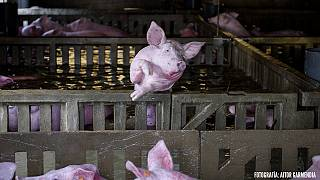 Trapped farm animals die in Spanish floods