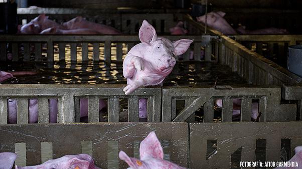 Trapped farm animals die in Spanish floods