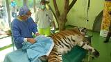 Клеточная терапия для тигра Игоря