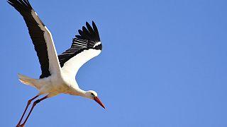لک لک عاشق به شوق دیدار جفت زمینگیرش هر سال ۱۴ هزار کیلومتر پرواز میکند