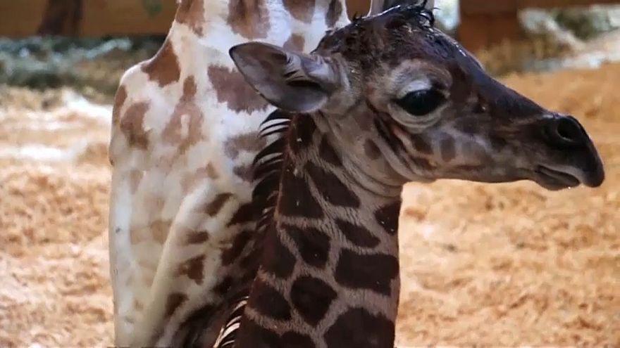 """Giraffe """"Taj"""" wird 1 Jahr alt"""