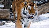 Прогулка амурских тигров в Приморье