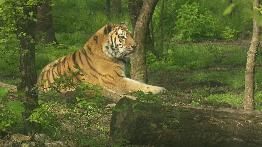 Как венгры лечили амурского тигра по кличке Игорь
