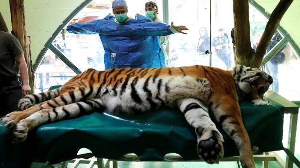Igor, le tigre opéré pour ses douleurs articulaires