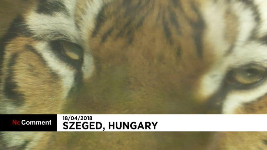 Tigre-da-sibéria operado na Hungria