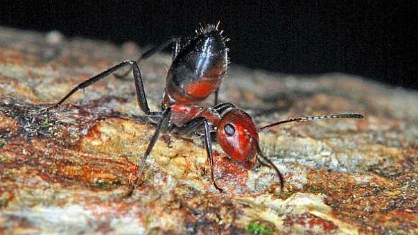 UK scientists discover new species of 'exploding ant'