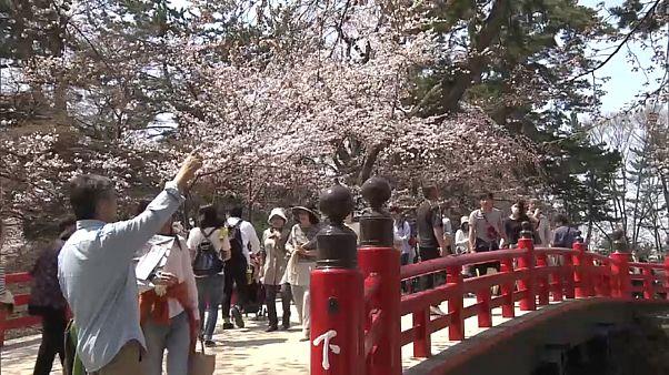 Cerejeiras continuam em flor no Japão